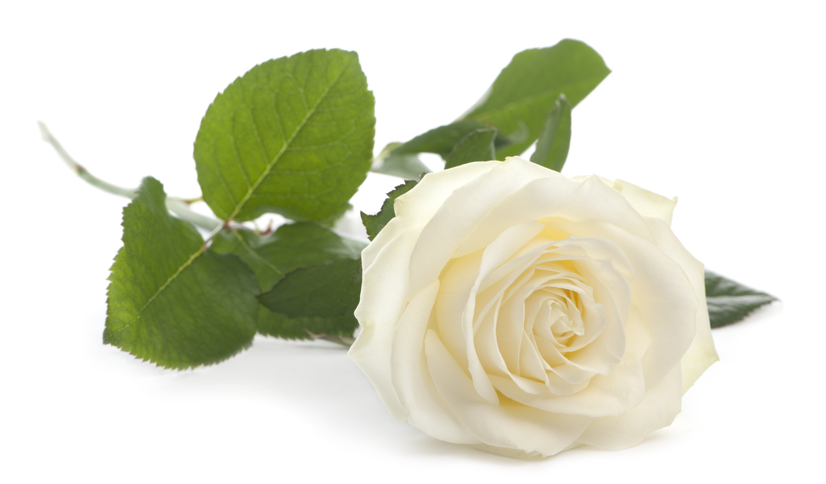White rose in front of white background